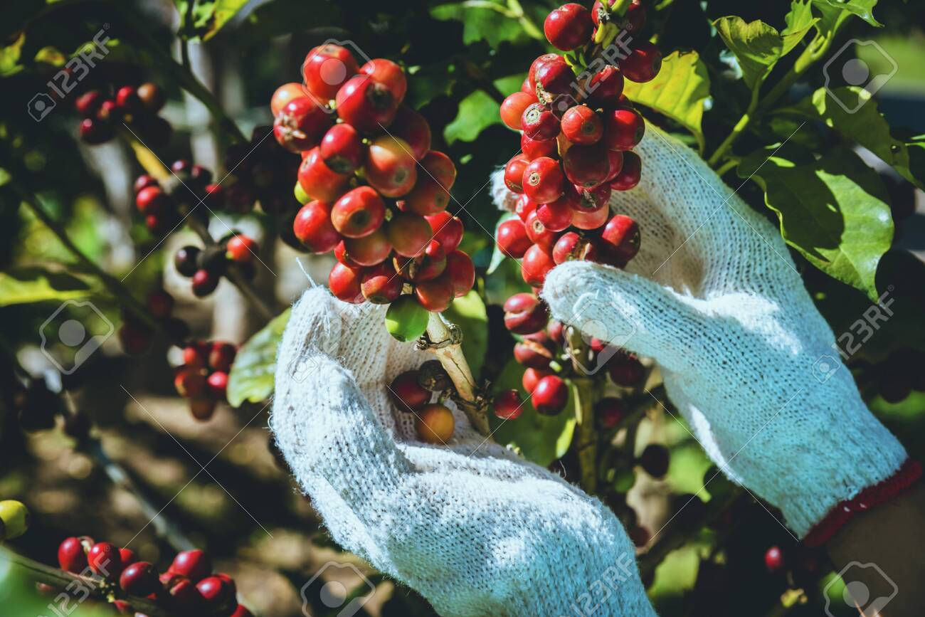 Coffee tree with coffee beans on coffee plantation,How to harvest coffee beans. - 127423613
