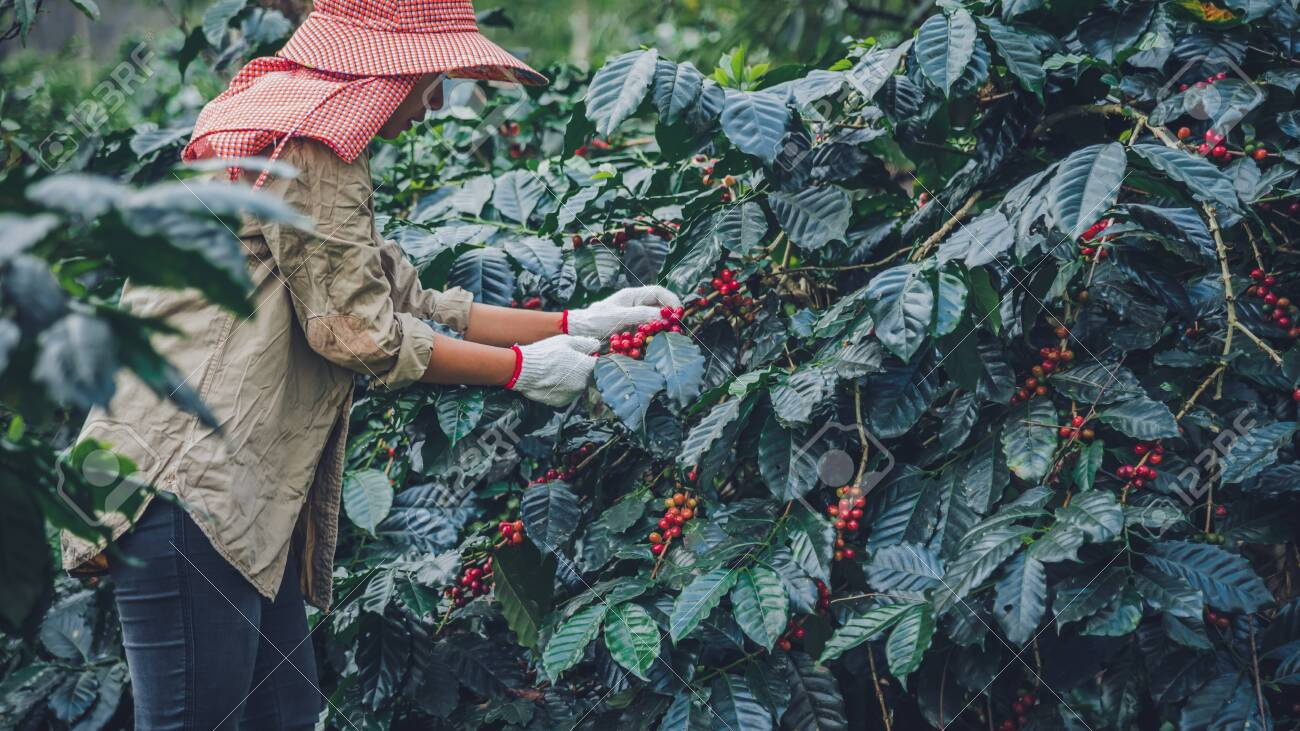 agriculture, coffee garden coffee tree with coffee beans, female workers are harvesting ripe red coffee beans. - 127640806