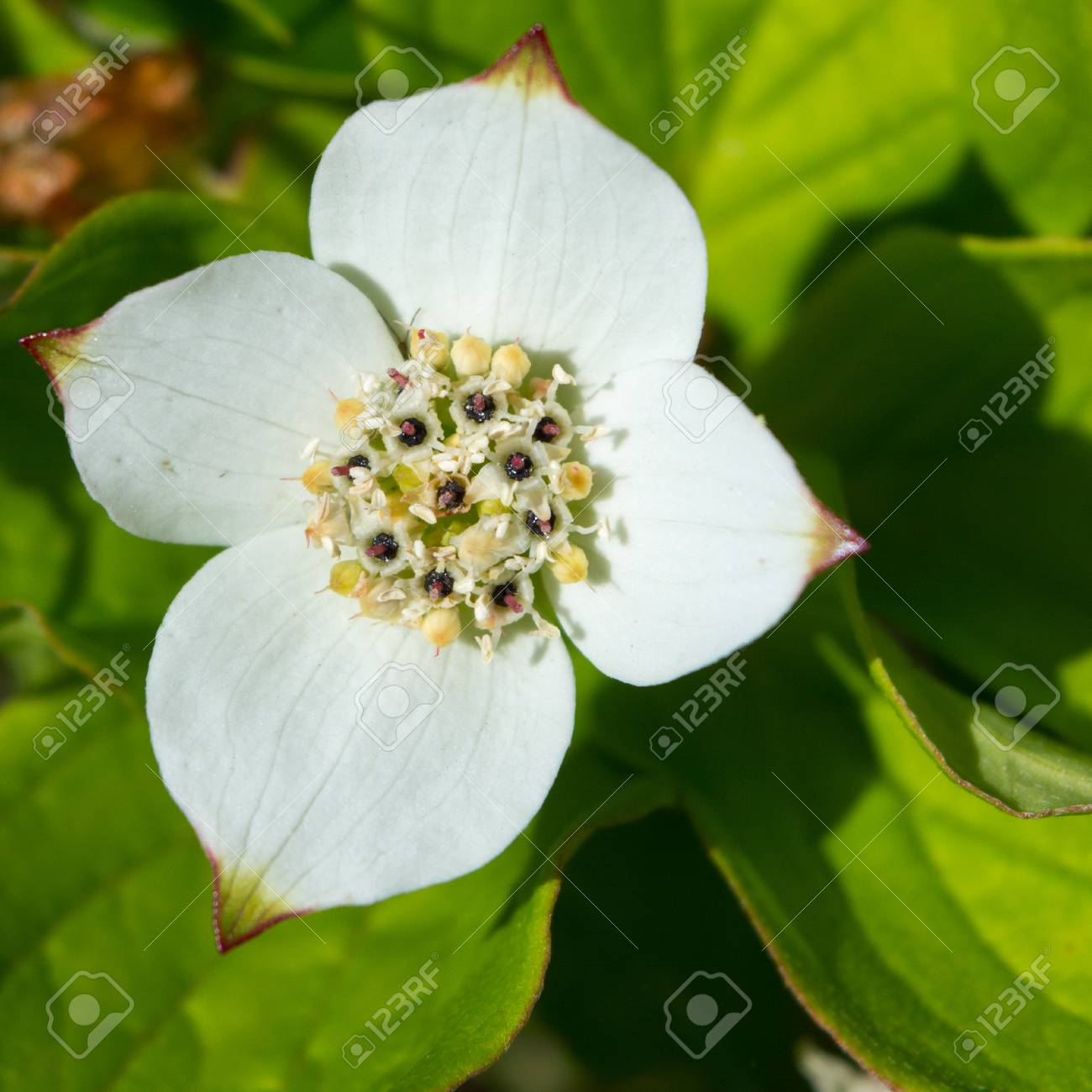 Four white petals form the outside of a bunch berry flower stock four white petals form the outside of a bunch berry flower stock photo 58628745 mightylinksfo