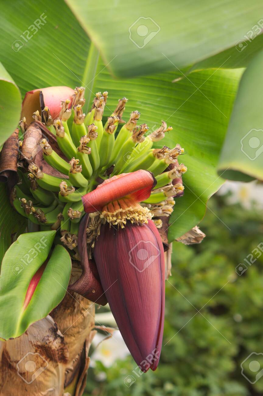 A Banana Flower Is An Edible Fruit Produced By Several Large