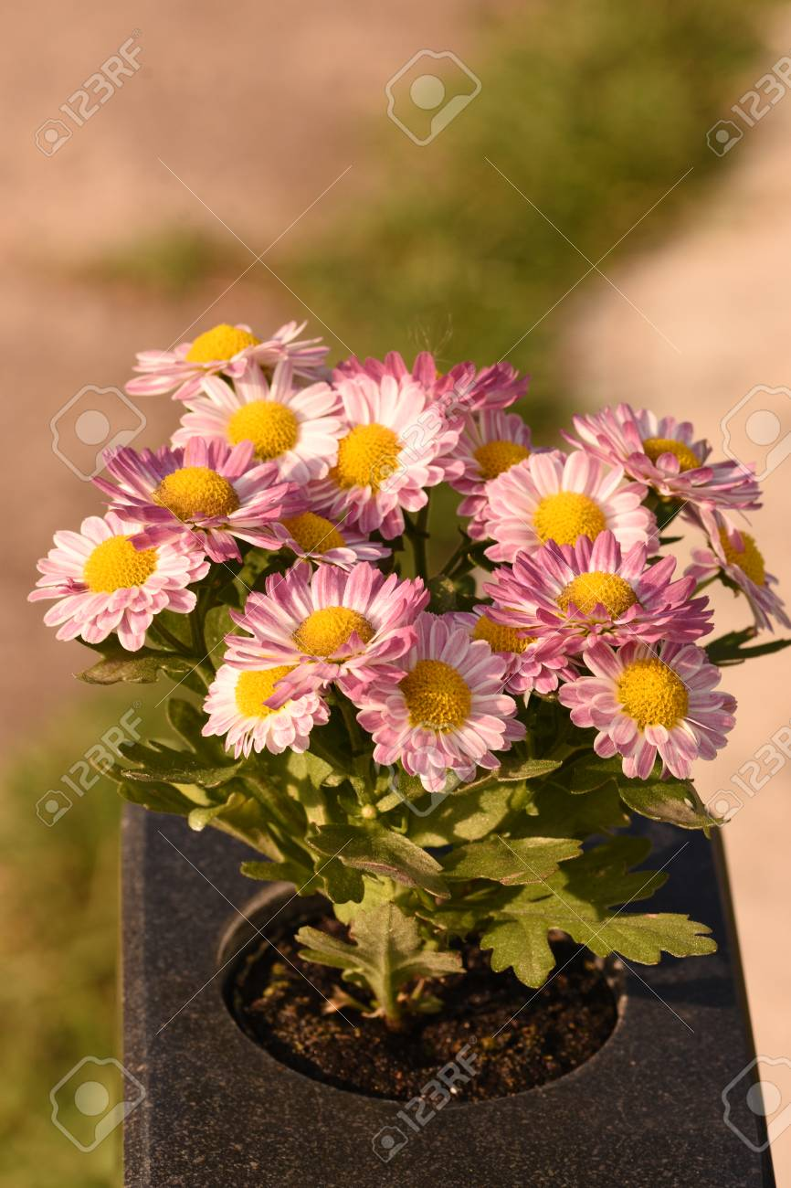 fall flowers in pots Stock Photo - 99204823 & Fall Flowers In Pots Stock Photo Picture And Royalty Free Image ...