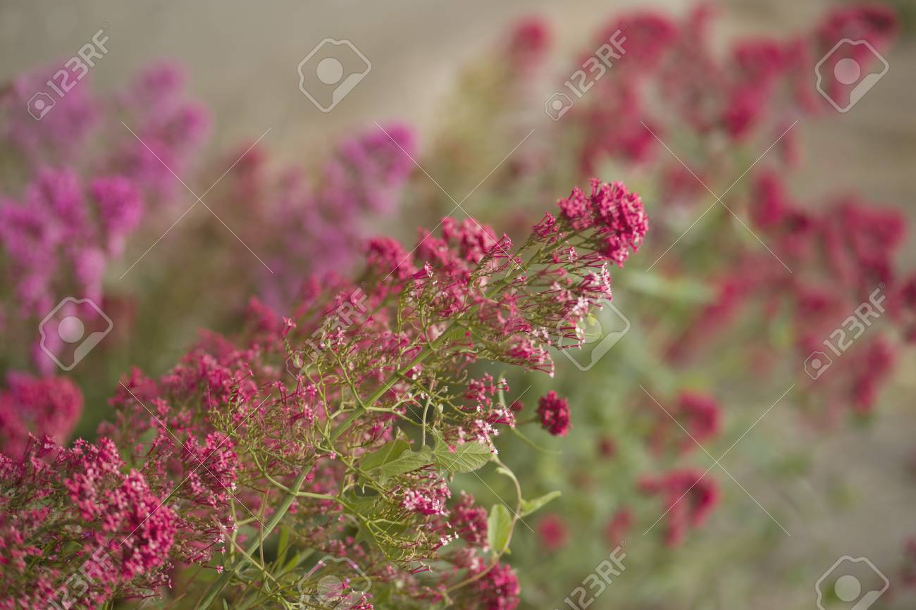 Pink, Wax Flower Bouquet Stock Photo, Picture And Royalty Free Image ...