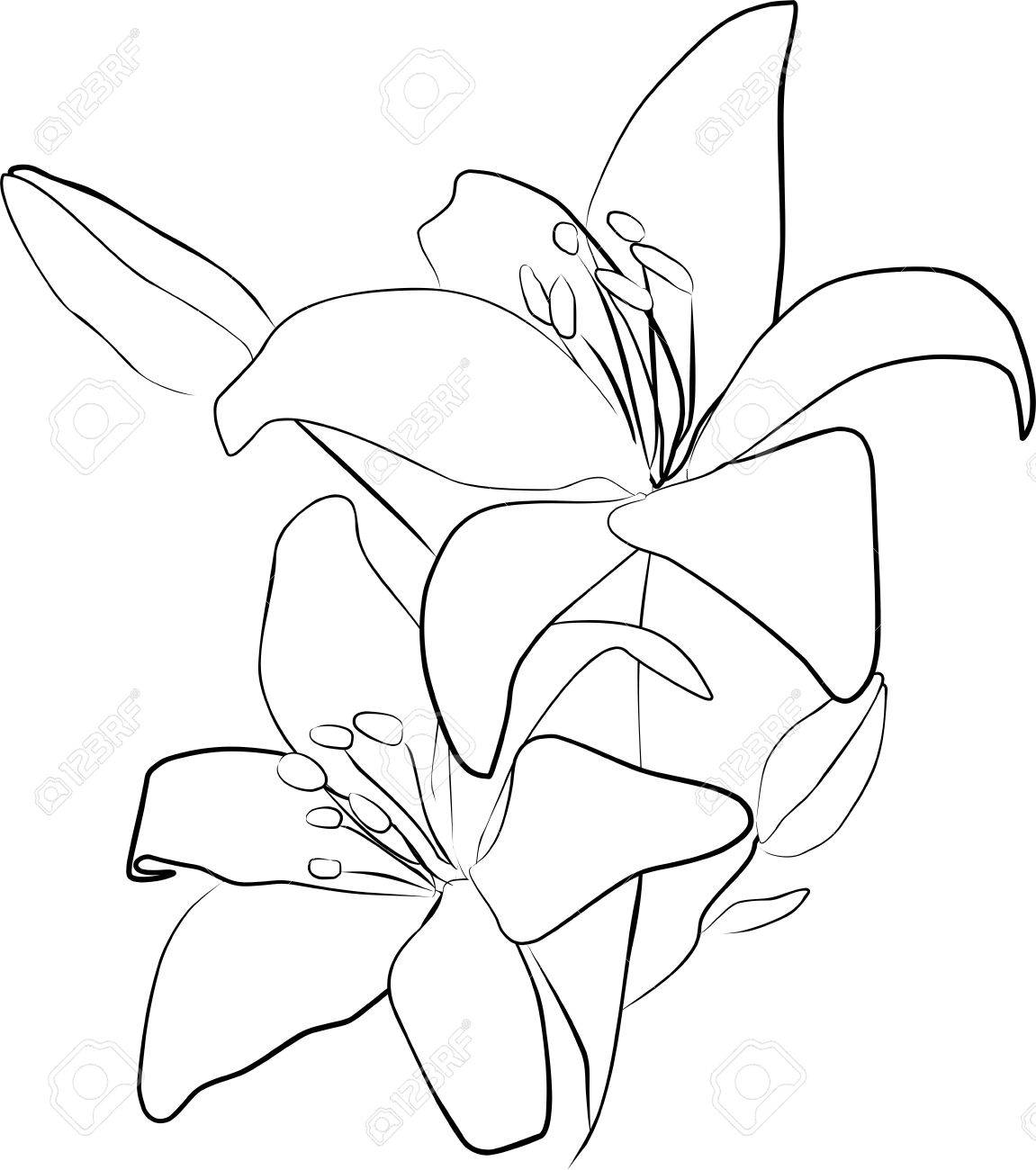 Lily Flower Drawing Outline Wallpapers Gallery