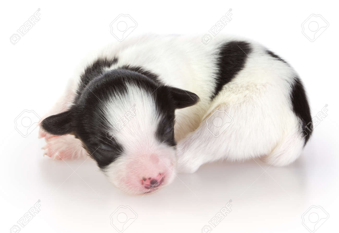 Newborn Papillon Puppy On White Background Stock Photo Picture And