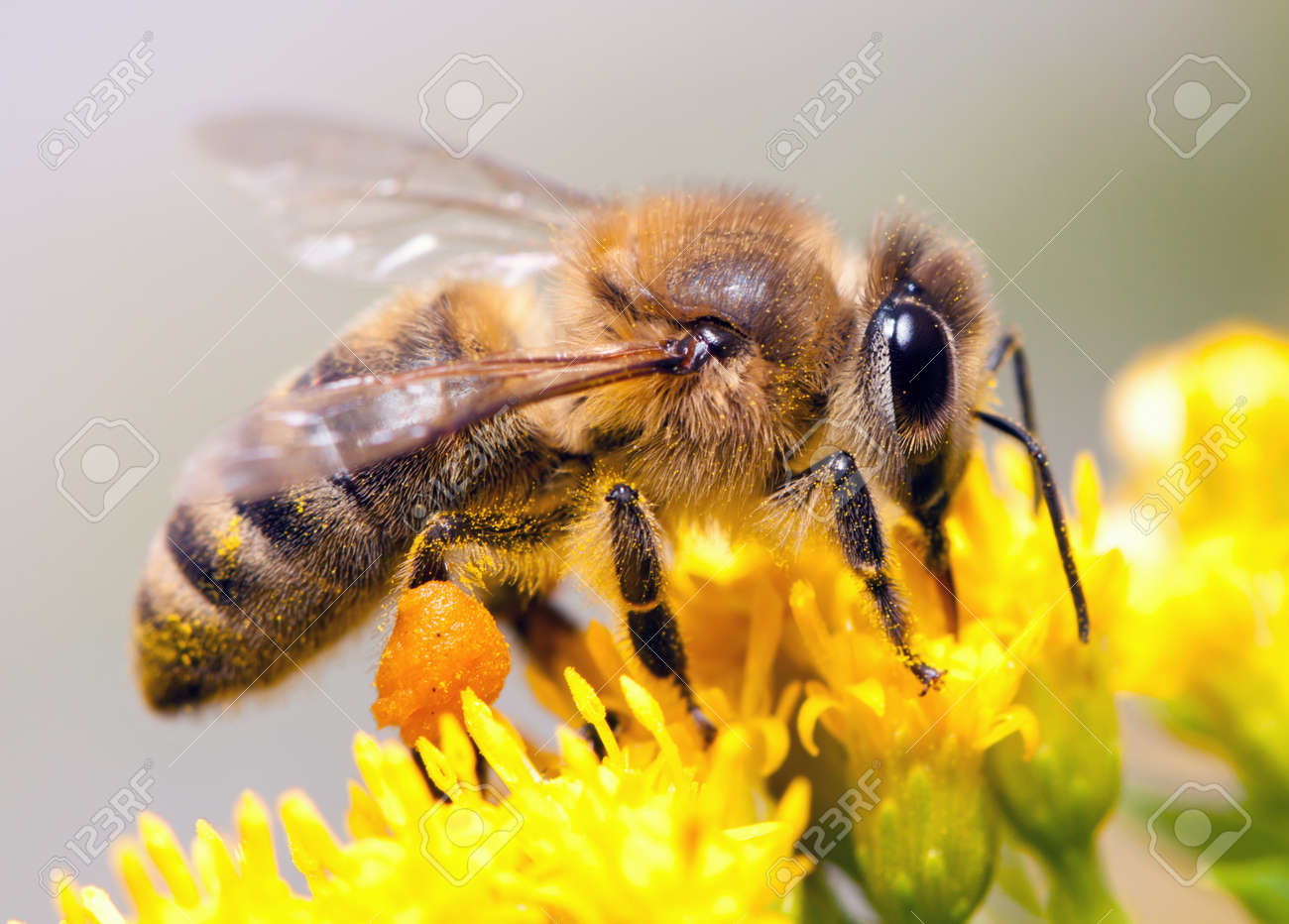 Bees collecting nectar from flower Stock Photo - 8703067