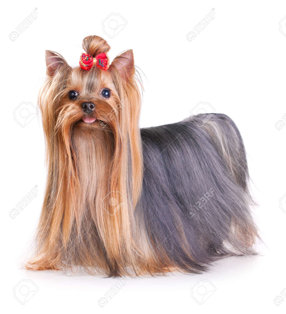 Yorkshire Terrier In Show Coat Isolated On A White Background Stock