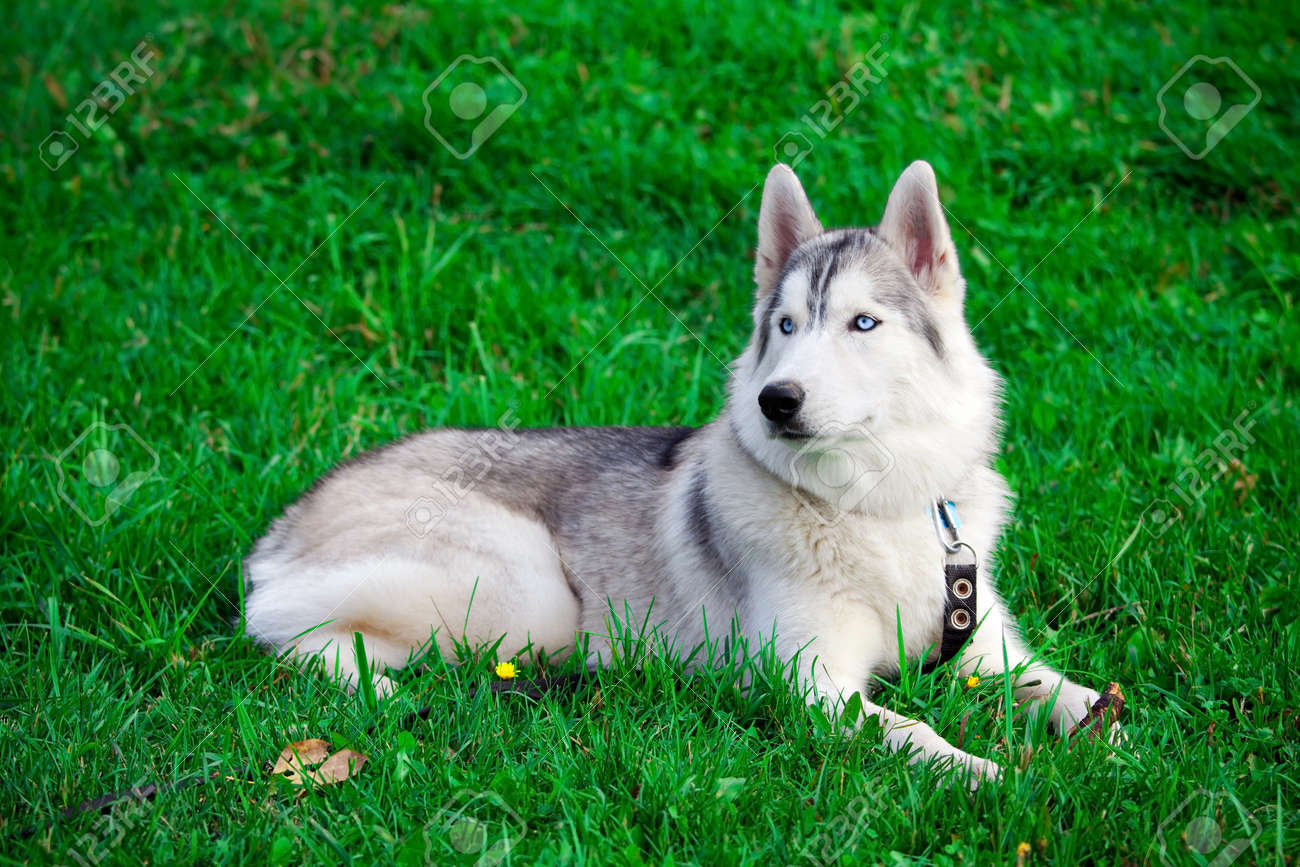 Portrait Of A Young Blue Eyed Siberian Husky Dog Stock Photo