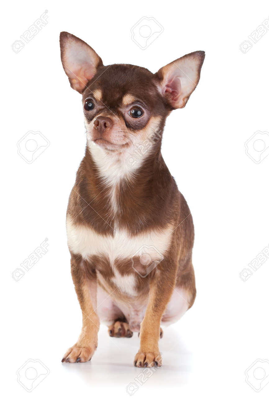 Short Coat Chihuahua On A White Background Stock Photo, Picture ...