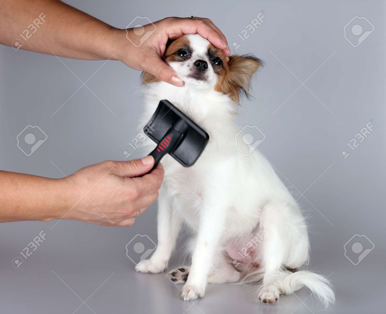 Papillon Puppy Getting His Hair Cut At The Groomer Stock Photo