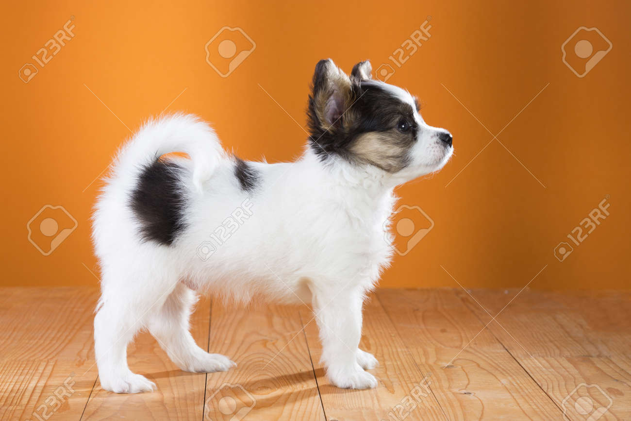 Papillon Puppy standing on a orange background. Side view Stock Photo - 18678915