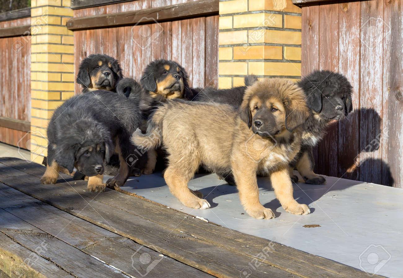 Group Tibetan Mastiff puppies on a sunny day