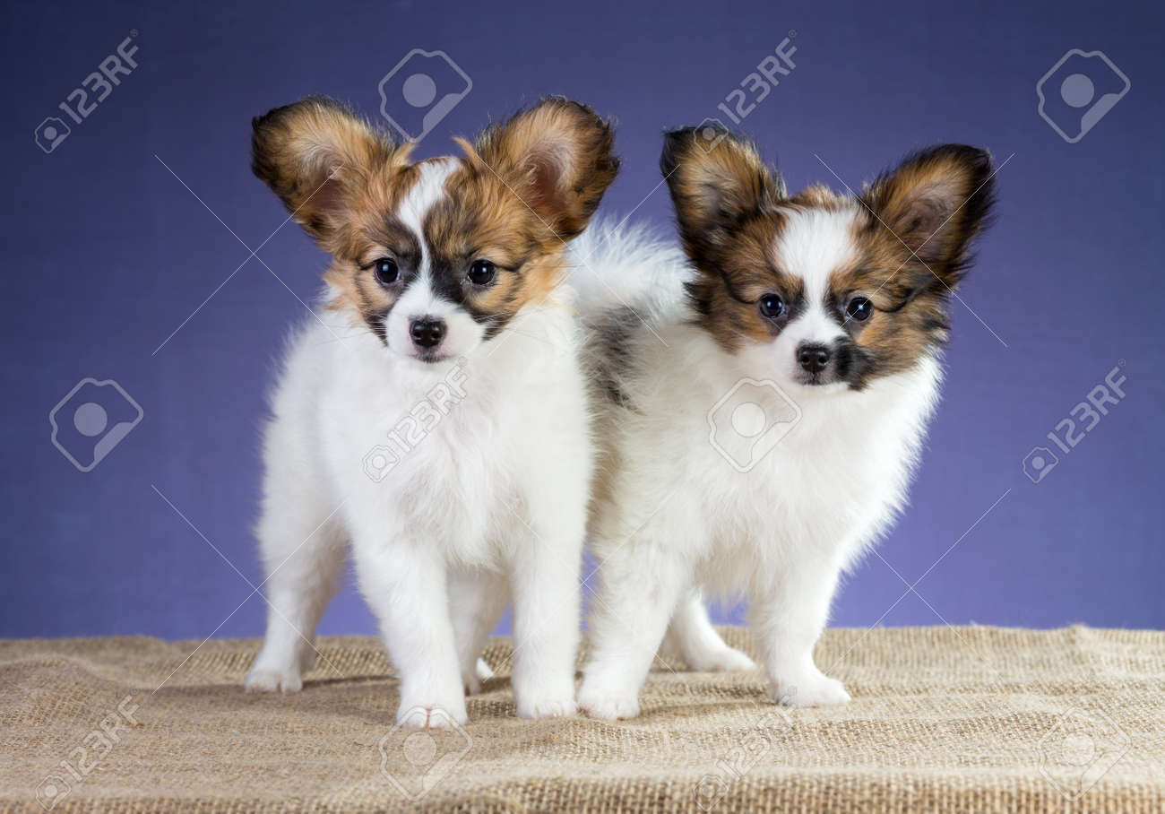 Two Papillon Puppies Standing On A Blue Background Stock Photo
