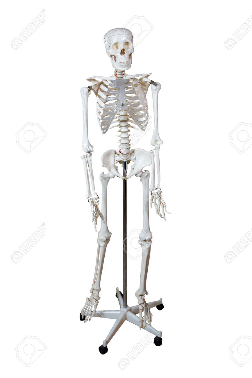 Anatomical Model Human Skeleton On A Stand Isolated On White Stock