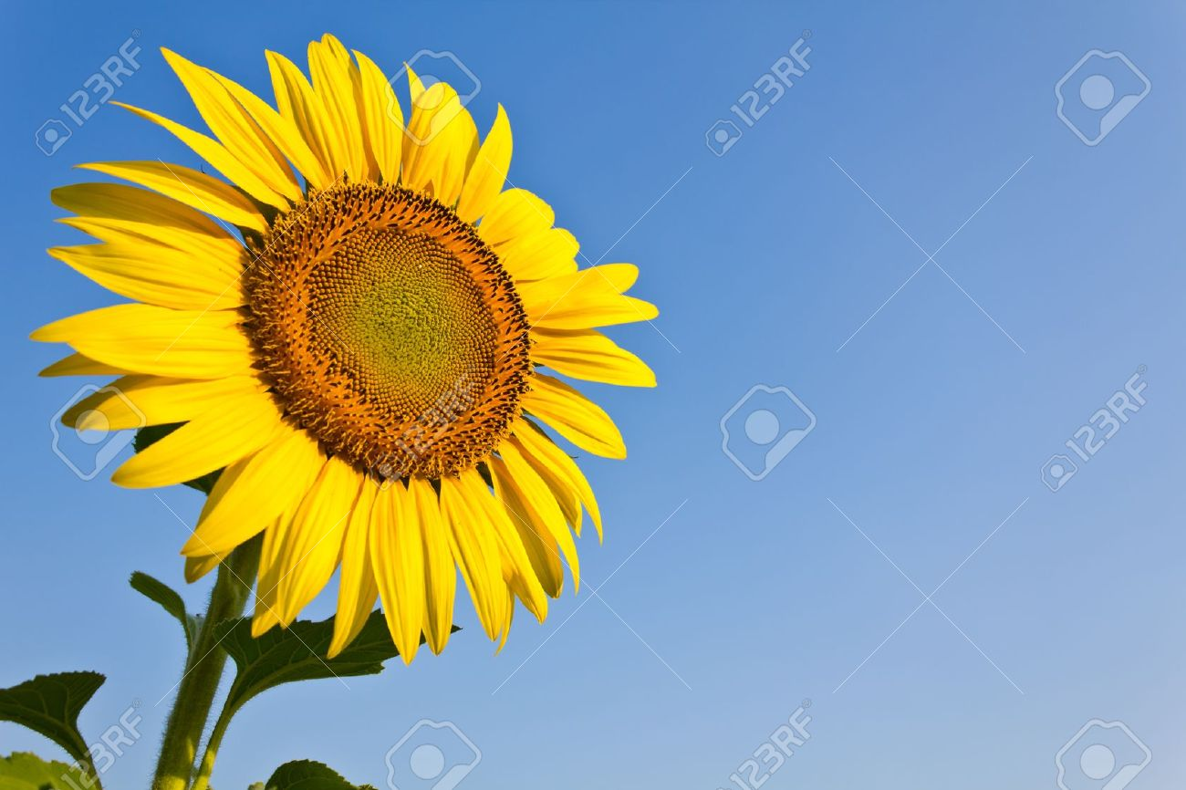 Blooming sunflower in the blue sky background Stock Photo - 9169335