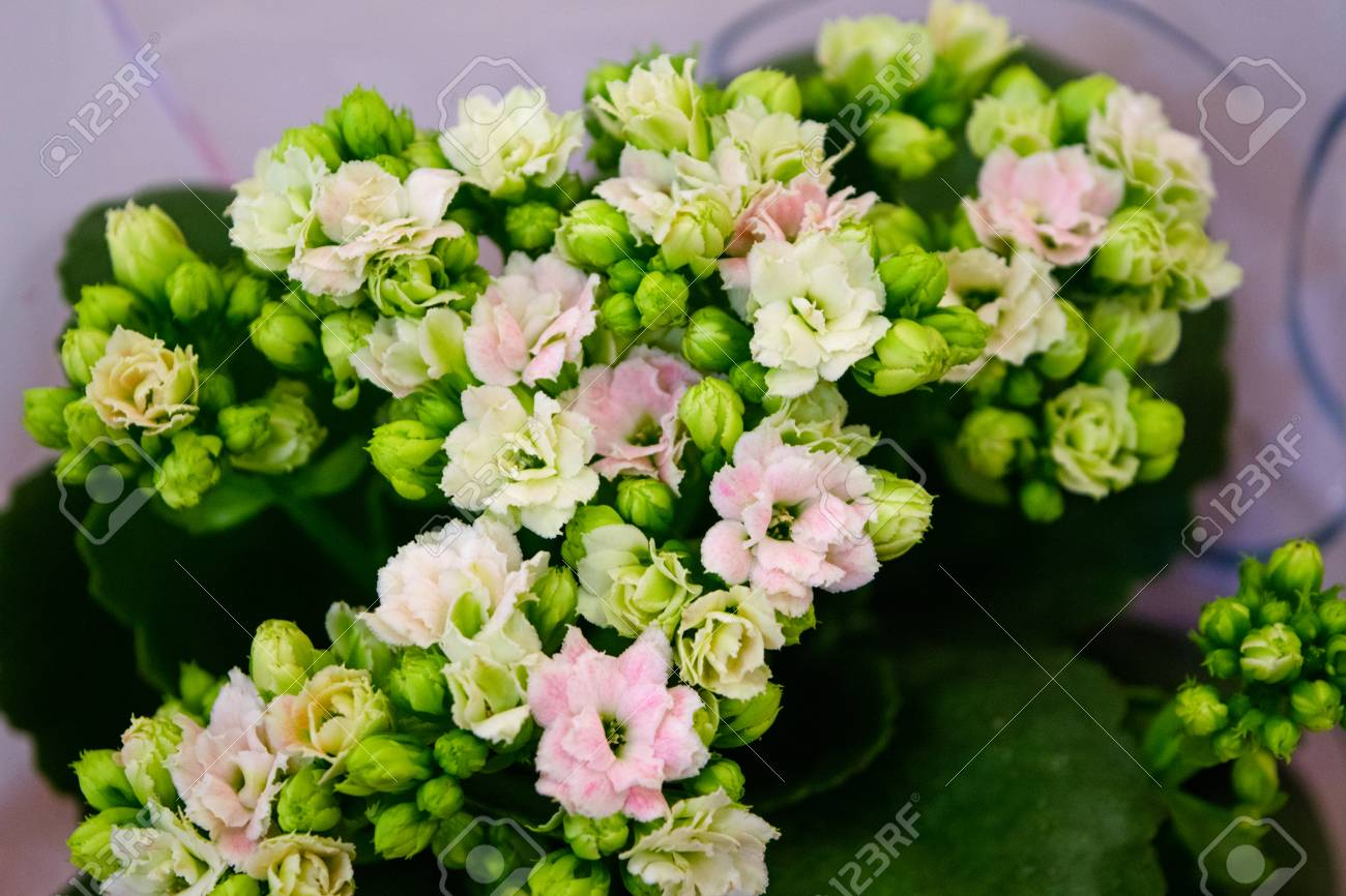 Closeup calanchoe pink and white flowers stock photo picture and closeup calanchoe pink and white flowers stock photo 89442749 mightylinksfo