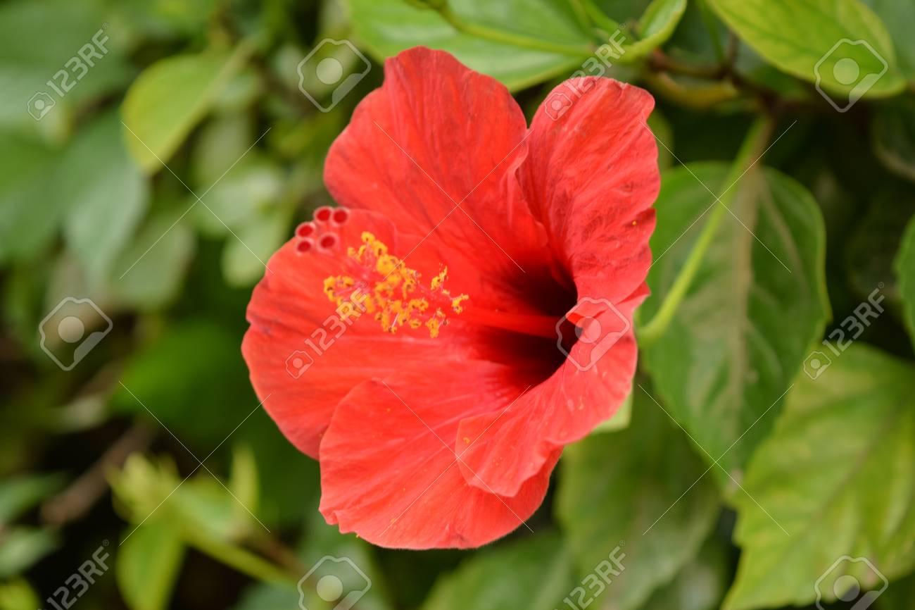 Beautiful garden hibiscus red hibiscus flower in open space beautiful garden hibiscus red hibiscus flower in open space tropical exotic hawaii stock photo izmirmasajfo