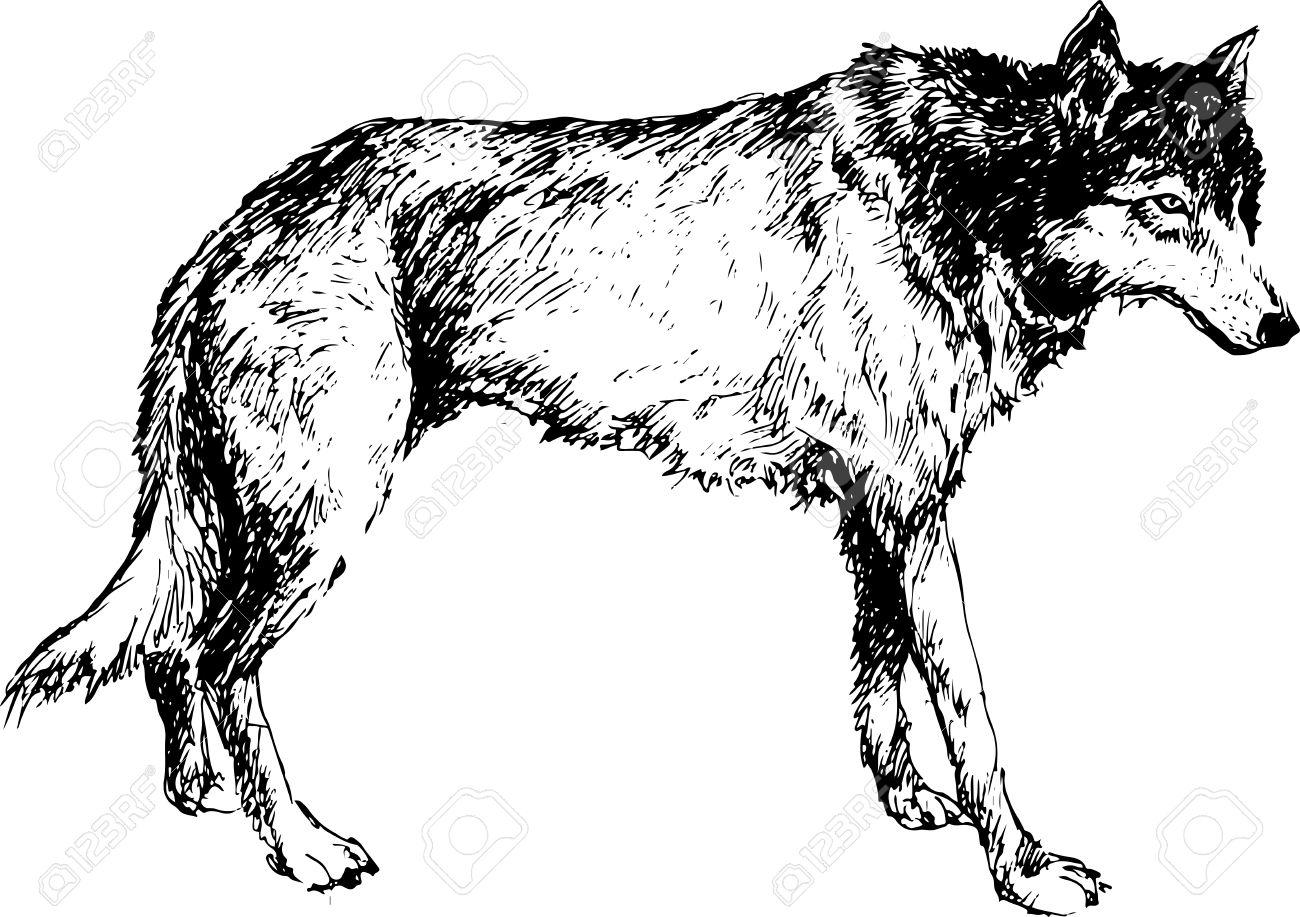 hand drawn wolf Stock Vector - 27869514