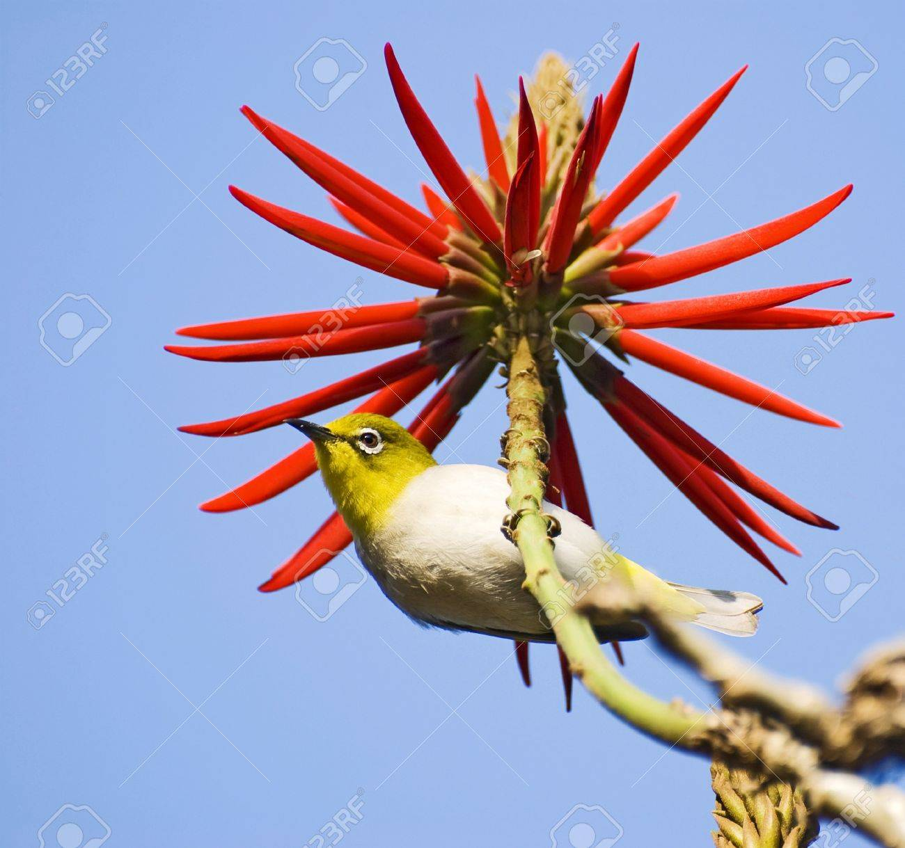 Lovely little bird and red flowers  Japanese White-eyes on India