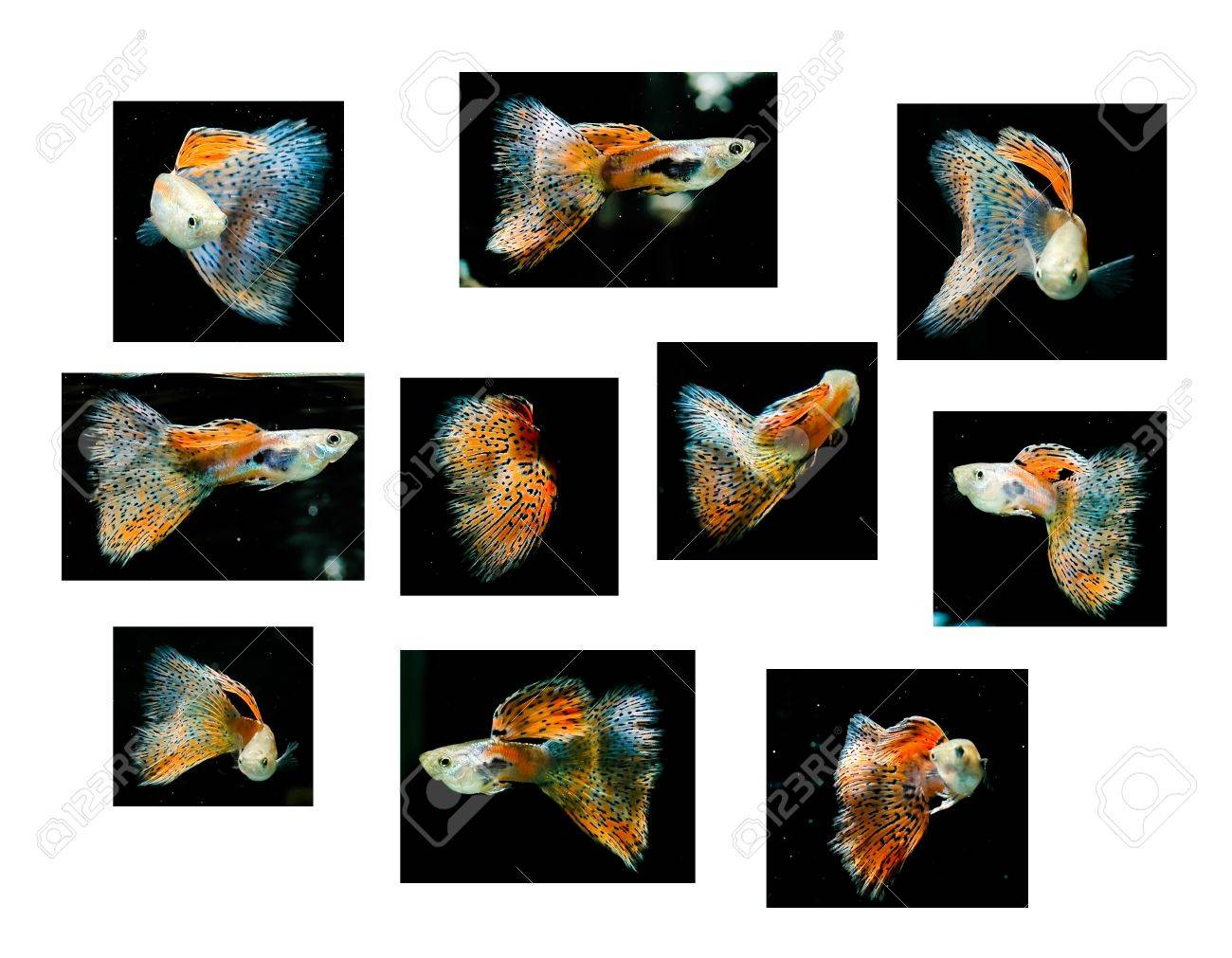 Swimming red guppy, many kinds of action. tropical fish pet (Red grass tail) Stock Photo - 7832535