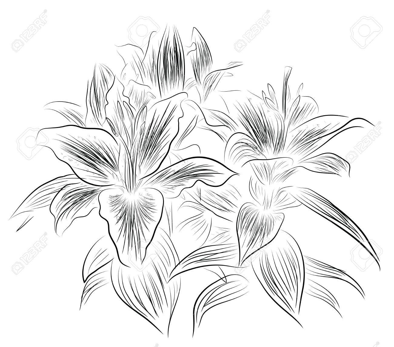 Lily Flower Sketch Royalty Free Cliparts Vectors And Stock Illustration Image 19113226