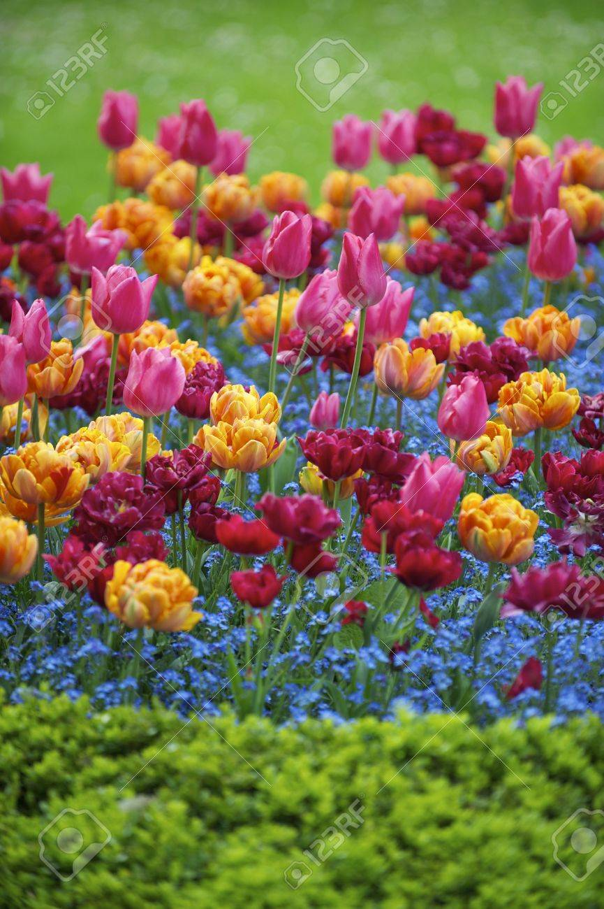 Bright spring flowers colorful pink orange magenta tulips ornamental bright spring flowers colorful pink orange magenta tulips ornamental garden stock photo 20936969 mightylinksfo