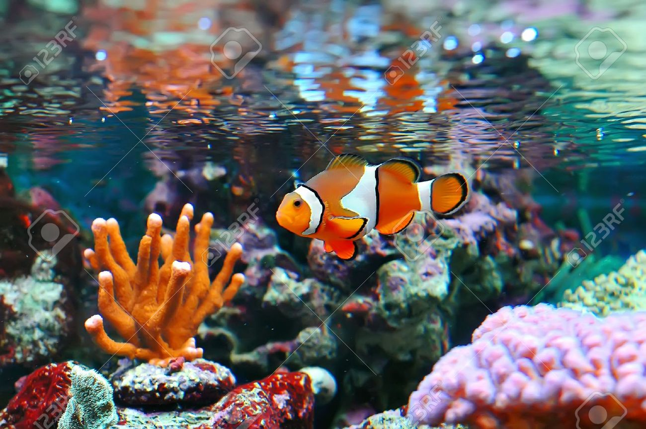 Fish in nemo aquarium - Stock Photo The Marine Fish Ocellaris Clownfish