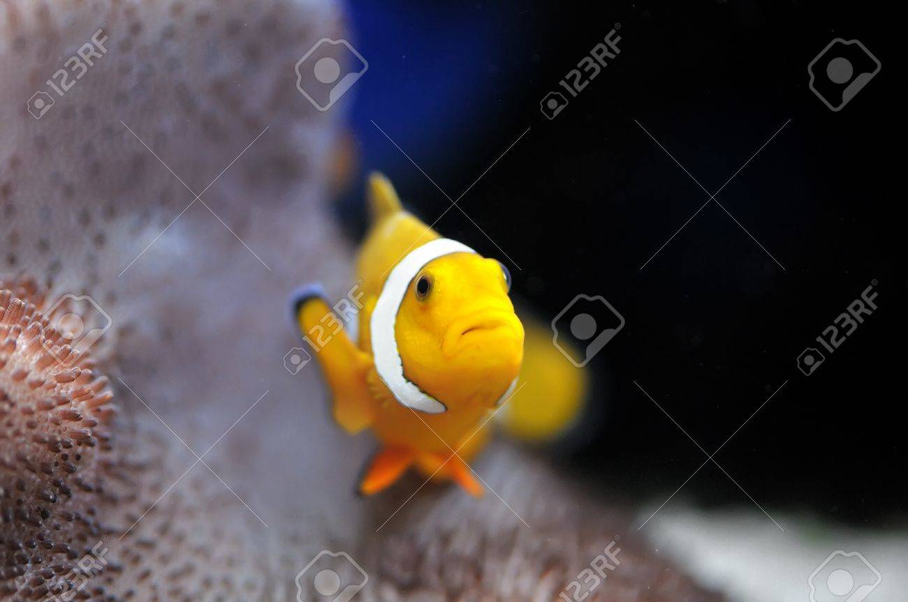 The Marine Fish - Ocellaris clownfish Stock Photo - 8546420