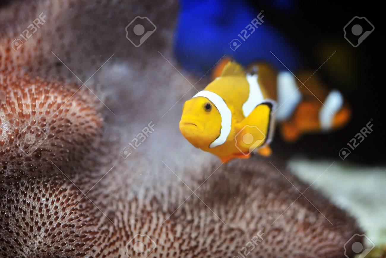 The Marine Fish - Ocellaris clownfish Stock Photo - 8546489