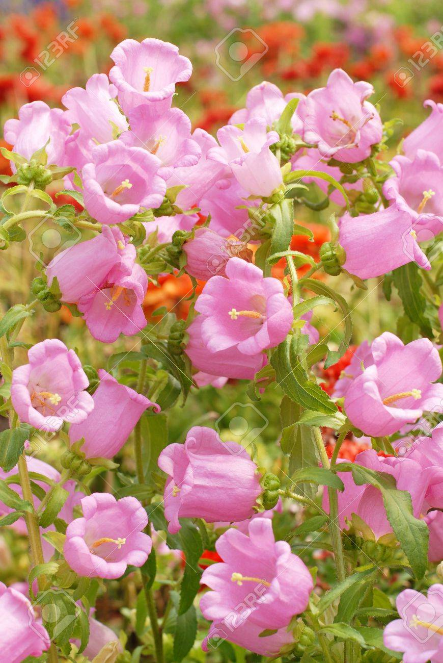 Pink Bell Flowers In The Garden Background Stock Photo Picture And