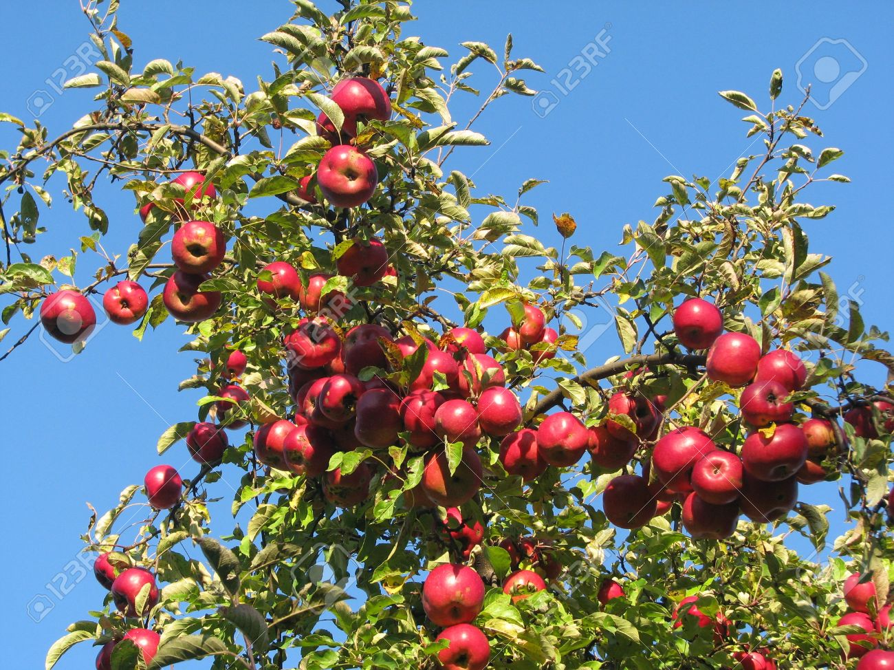 Apple tree branches loaded with red ripe apples against a vivid blue sky--natural light Stock Photo - 12710264