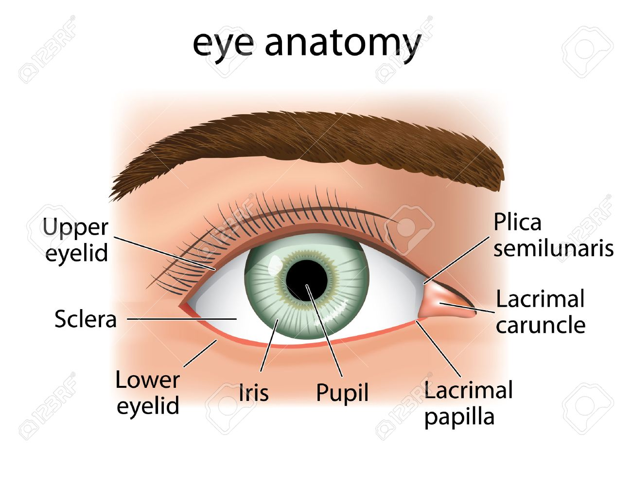 List of Synonyms and Antonyms of the Word: human eyelid