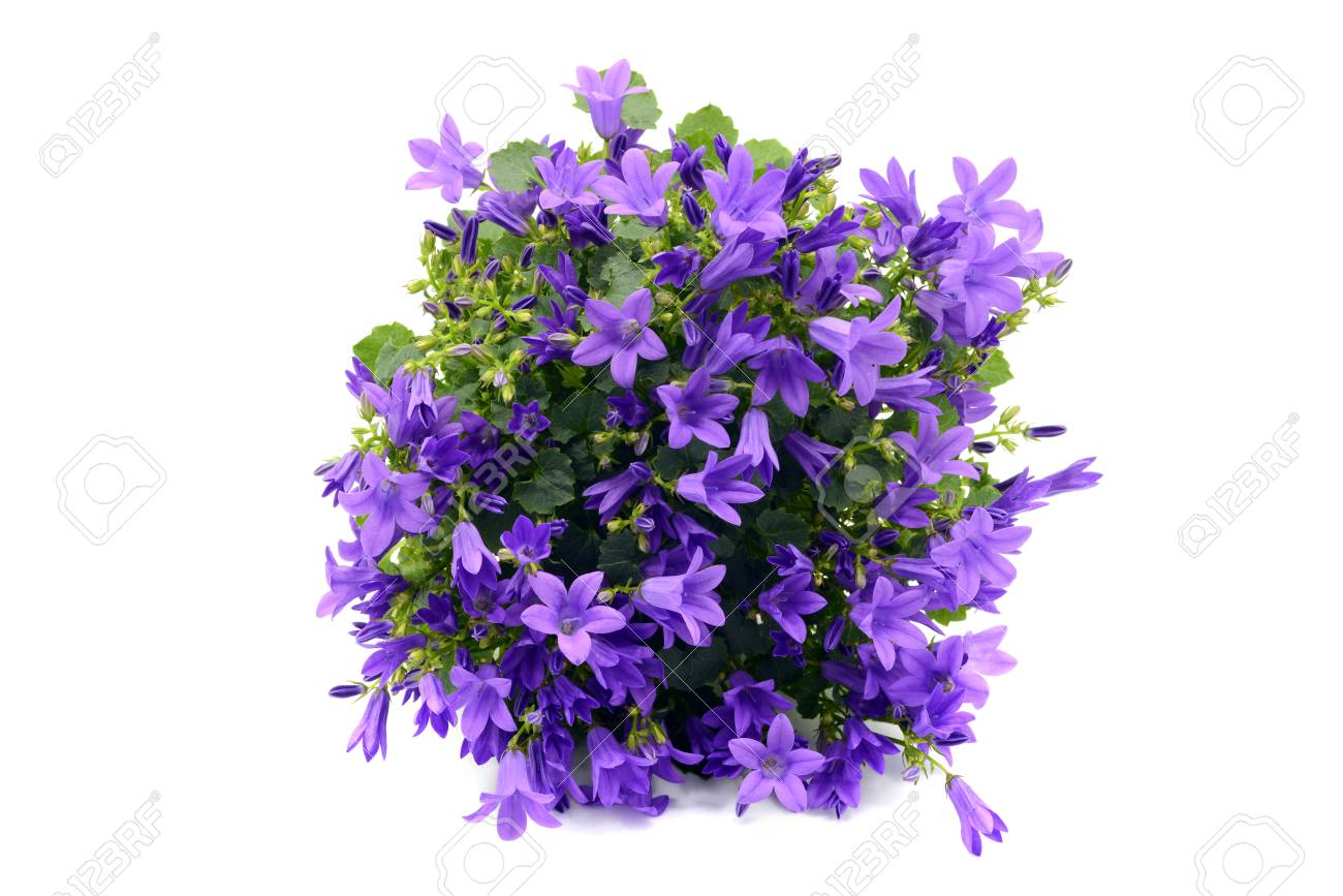 Blue bellflowers campanula poscharskyana on white isolated stock blue bellflowers campanula poscharskyana on white isolated background stock photo 95072373 mightylinksfo