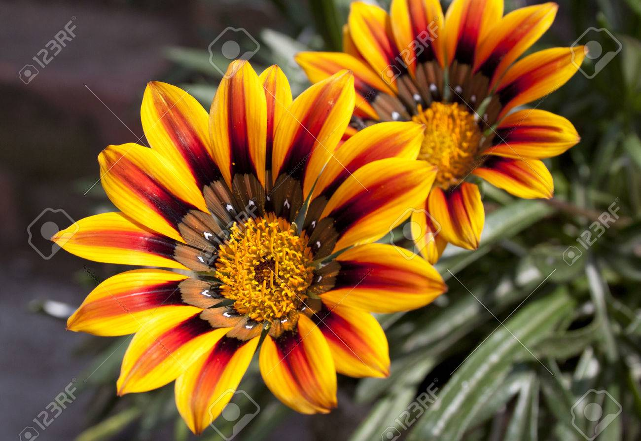 Close Up Of Two Vibrant Orange And Yellow Daisy Flowers Stock Photo