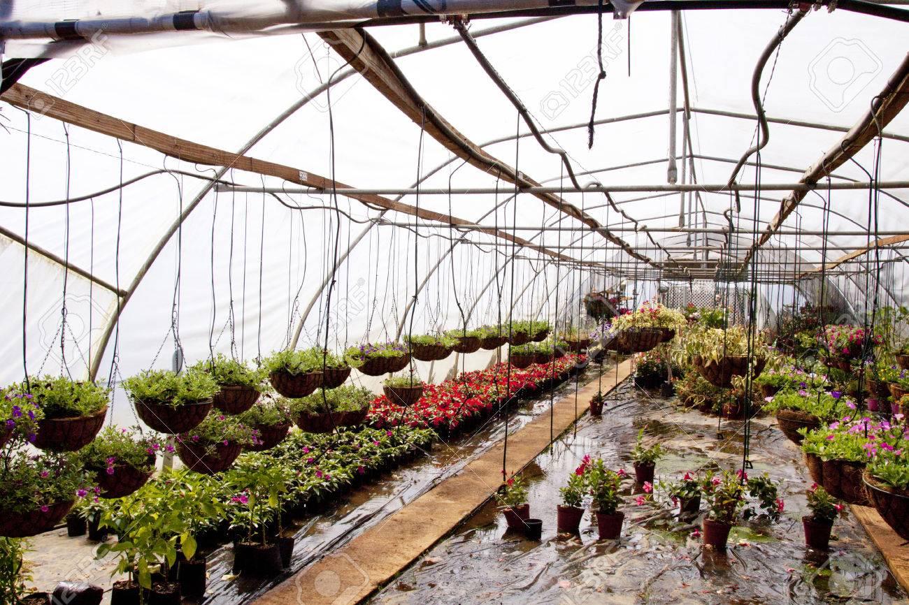 Ampeln Und Baumschulpflanzen In Einem Gewachshaus Tunnel Lizenzfreie