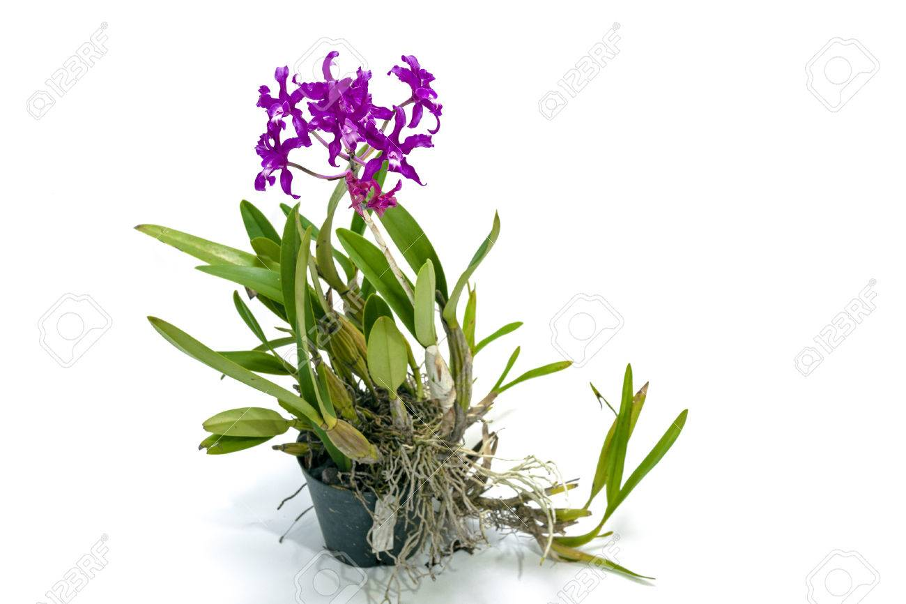 Hybrid Orchid Plant With Stem Of Purple Flowers On White Background