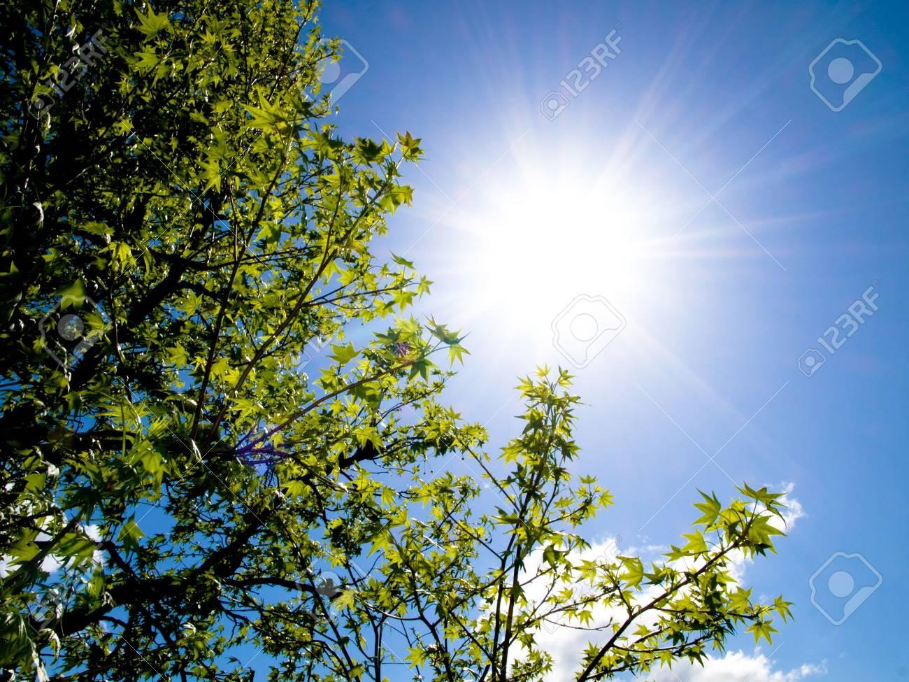 Beautiful sweetgum tree against bright sun at spring Stock Photo - 3425288
