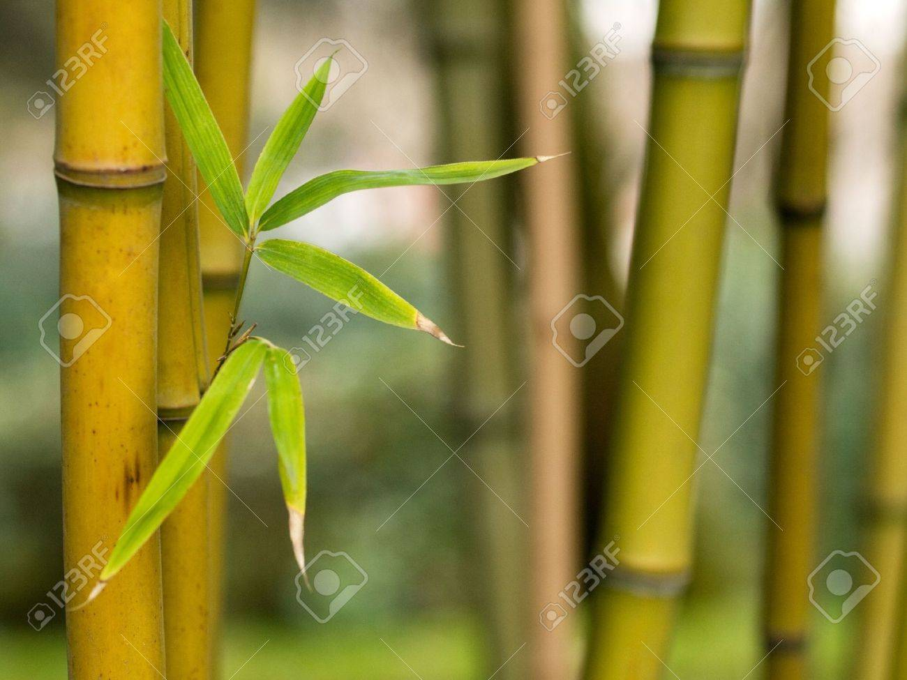 Bamboo shoots with leaves Stock Photo - 4203190
