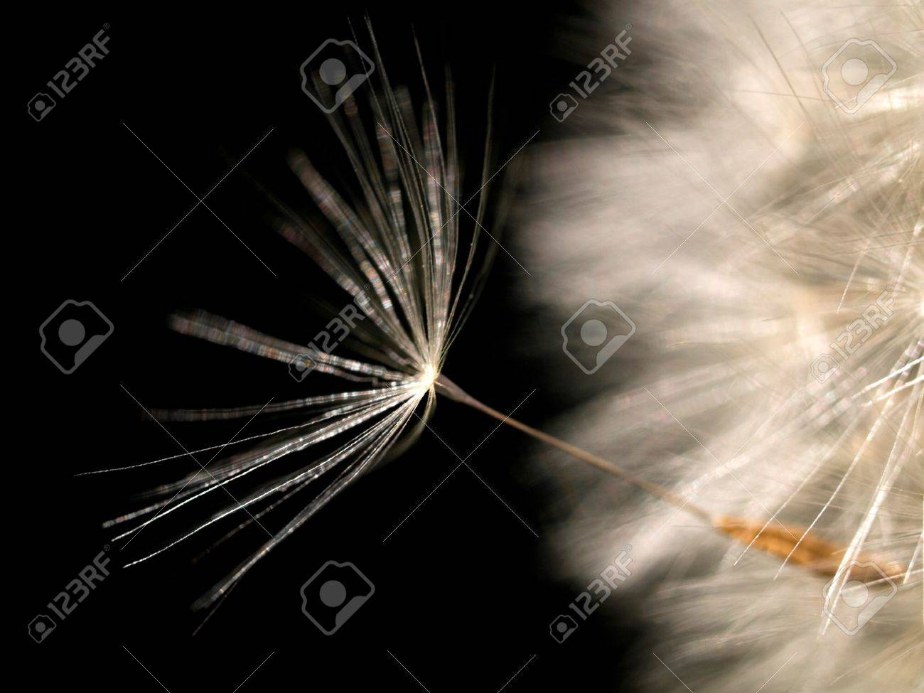 Dandelion seed on black background Stock Photo - 4494812