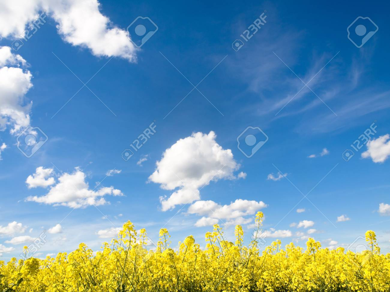 Rapeseed field at spring under blue sky and clouds Stock Photo - 4689485