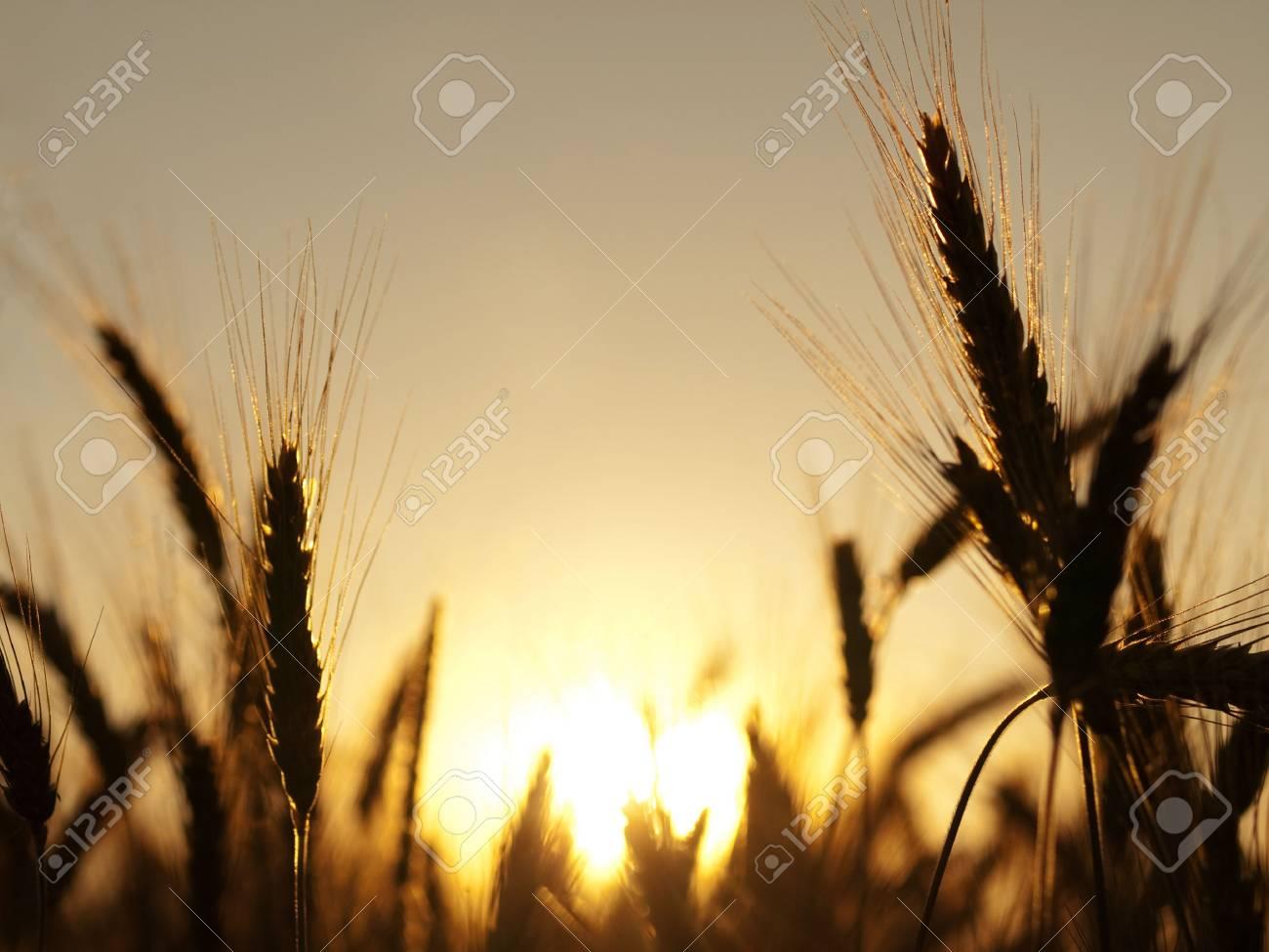 Golden wheat field in summer  against the sun Stock Photo - 5089811
