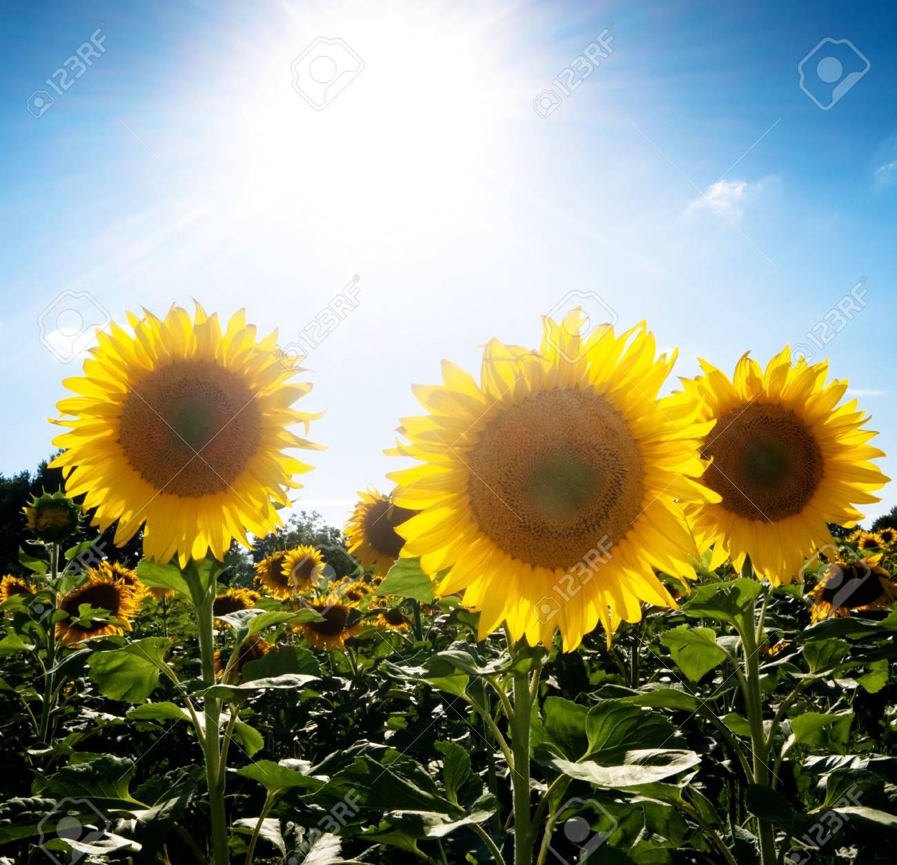 beautiful sunflower field under blue with bright sun Stock Photo - 5249463
