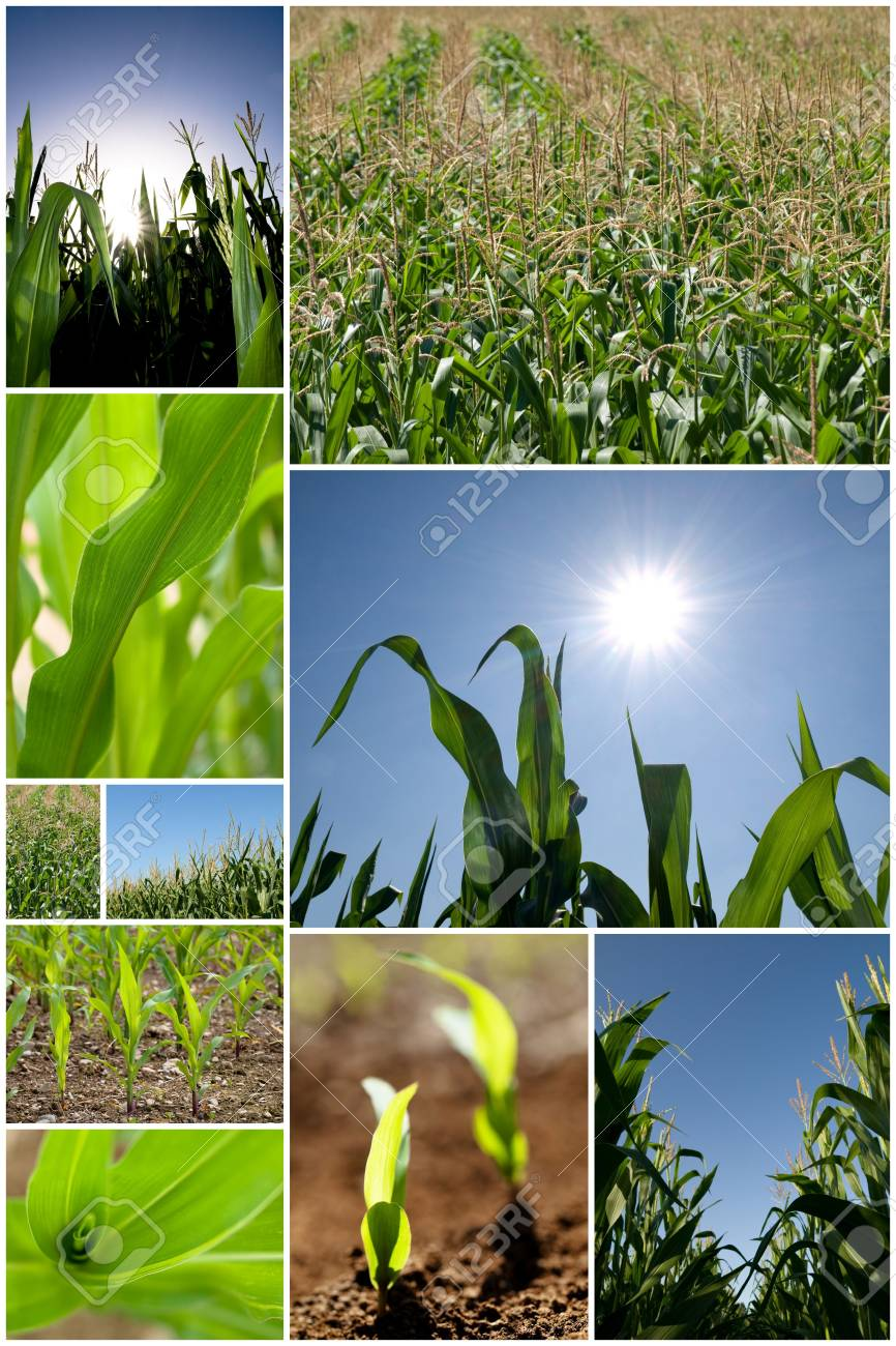 Collection of green corn field pictures Stock Photo - 5381021