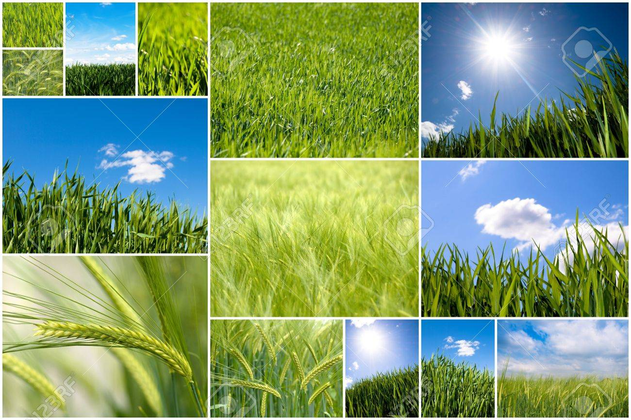 Collection of green wheat field pictures Stock Photo - 5381044