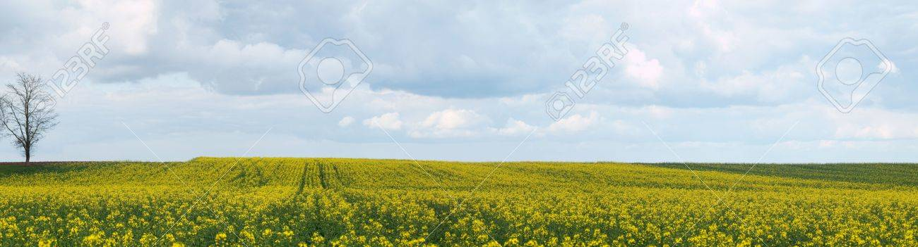 Panoramic view of a rapeseed field at spring under cloudy sky Stock Photo - 6752999