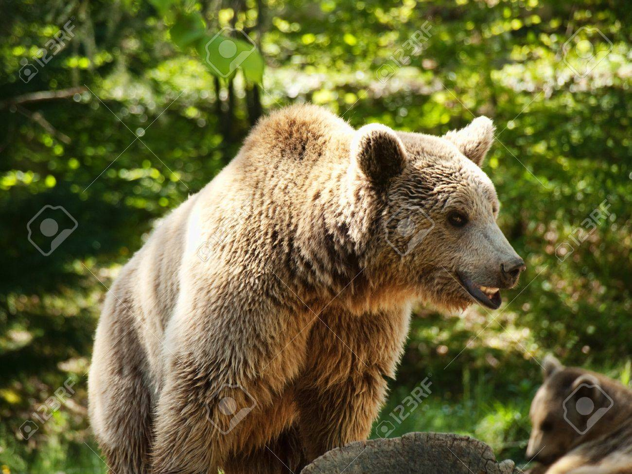 One of few brown bears living in the French pyrenees mountains Stock Photo - 6981514