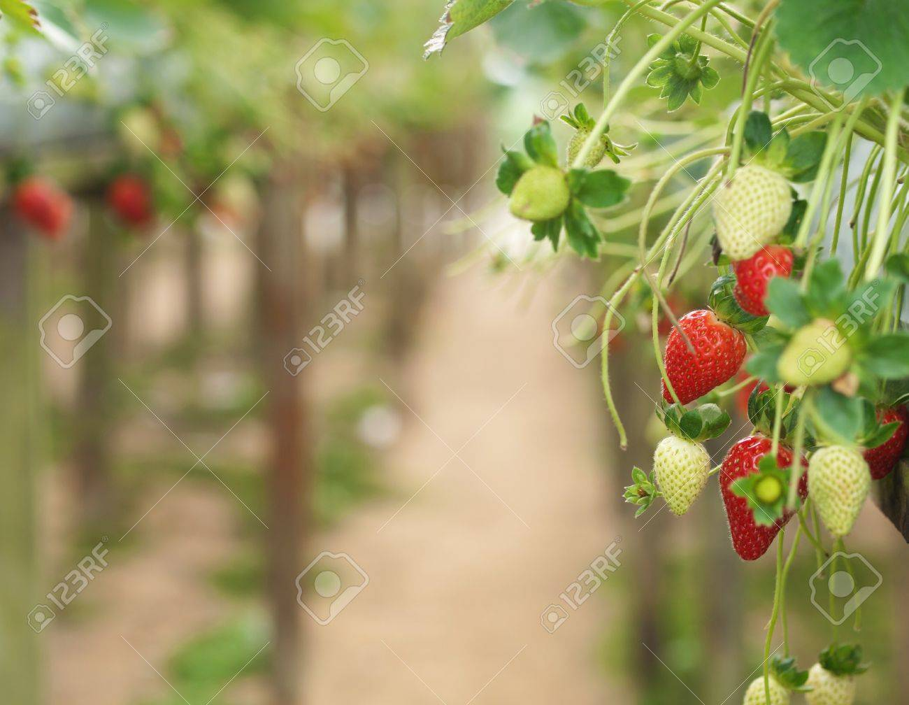 Strawberries with shallow depth of field in a strawberry farm in Cameron Highlands  Malaysia Stock Photo - 7462569