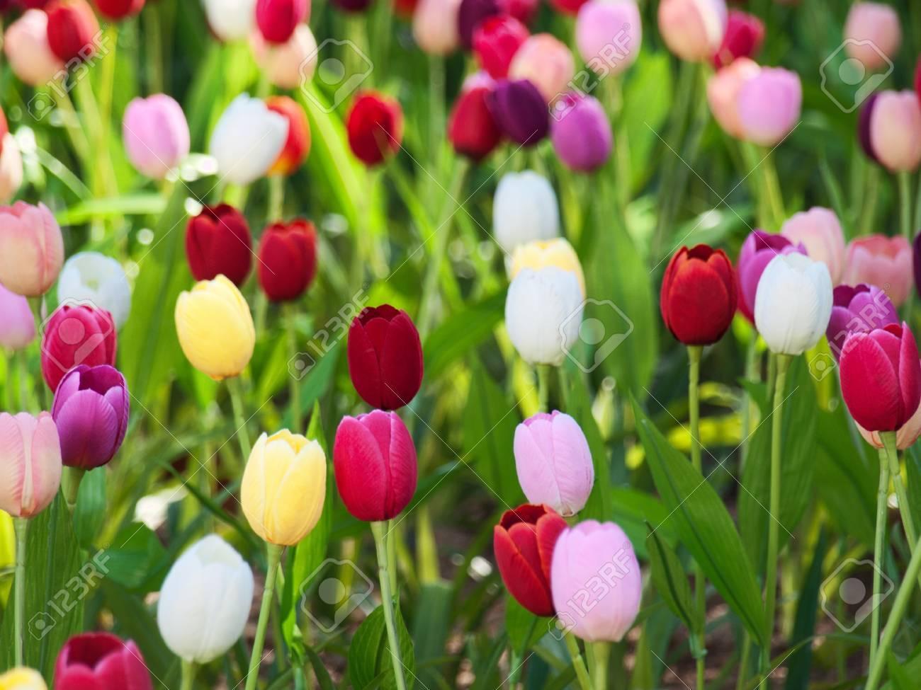 Field of tulips Stock Photo - 8954460