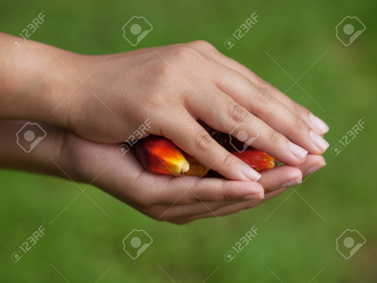 Oil palm fruits Stock Photo - 11271447