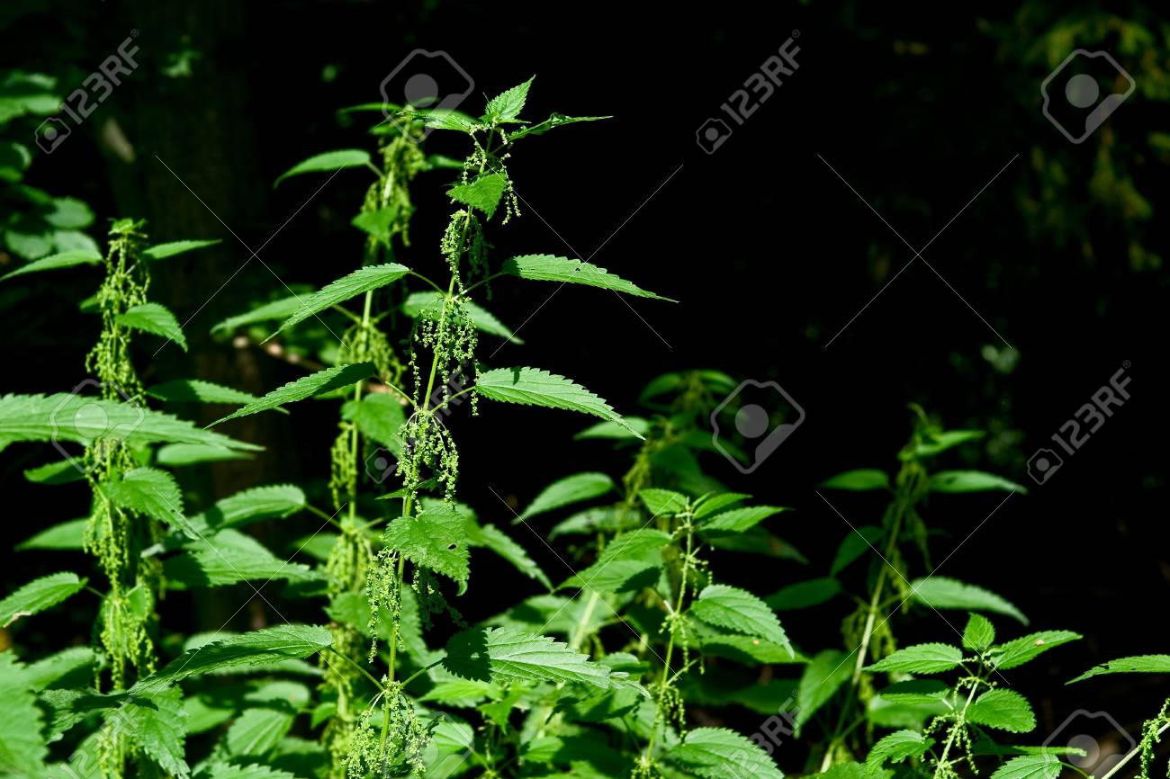 Detail of a wild stinging nettle plant Stock Photo - 2783528