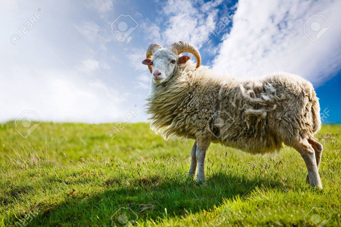 A sheep isolated against a sky Stock Photo - 3278736